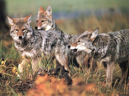 A Pack of Coyotes