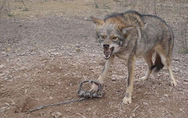 Angry Trapped Coyote